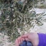 Ülkemizde En Çok yetişen zeytin çeşitleri