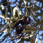 Zeytinyağı Çeşitleri